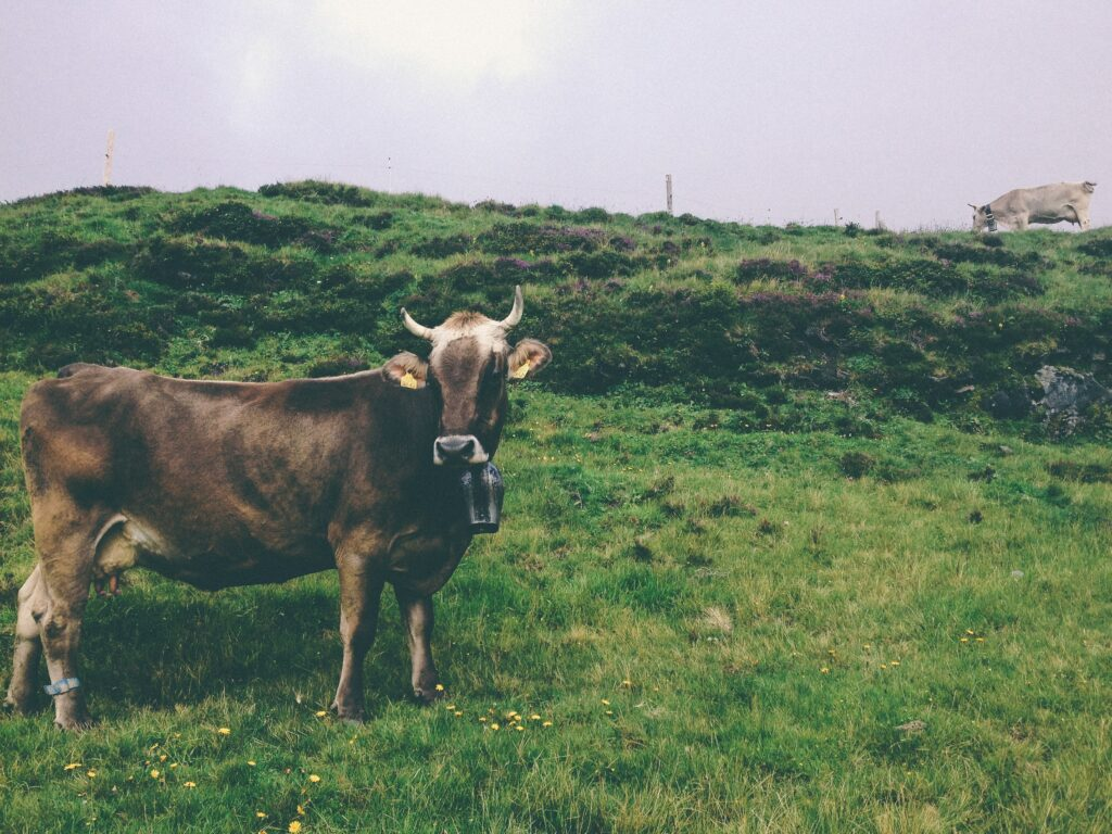 Irish dairy is a potent ingredient in Hard Chaw Strong Irish Cream, and the photo illustrates the importance of Ireland's grass for its dairy.